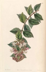 The image depicts a flowering shoots with a terminal cluster of pink flowers.  Botanical Register f.8, 1846.