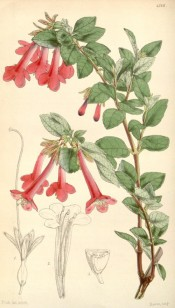The image depicts a shoot with bright pink tubular flowers.  Curtis's Botanical Magazine t.4316, 1847.