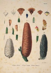 Leaves, cones and seeds are illustrated.  Die Coniferen t.XXVI, 1840-41.