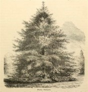 The figure is an uncoloured lithograph of a mature tree, pyramidal in shape.  Florist and Pomologist p.67, 1873.