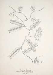 The figure is a line drawing of wiry stem, leaves and seed pods.  Flora Fluminensis vol.7 t.98, 1827.