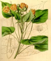 Depicted are toothed, heart-shaped leaves and cup-shaped, red-veined yellow flowers.  Curtis's Botanical Magazine t.3840, 1840.