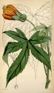 Depicted are toothed, palmate leaves and cup-shaped, red-veined yellow flowers.  Curtis's Botanical Magazine t.4463, 1849.