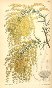 Shown are spine-tipped phyllodes and globose heads of yellow flowers forming spikes.  Curtis's Botanical Magazine t.5835, 1870.