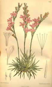 Depicted is a clump of narrow pointed leaves and spikes of salverform pink flowers.  Curtis's Botanical Magazine t.7506, 1896.