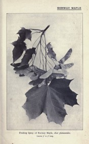This old photograph shows a fruiting spray with leaves and seeds.