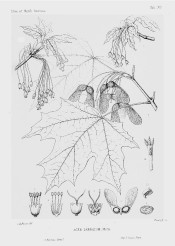 The line illustration shows deeply lobed leaves and detail of flowers and winged fruits.