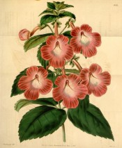 Figured is an Achimenes with toothed leaves and reddish flowers.  Curtis's Botanical Magazine t.4012, 1843.