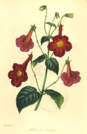 Figured is an Achimenes with hairy leaves and rose-coloured flowers with a yellow eye.  Paxton's Magazine of Botany p.7, 1845.
