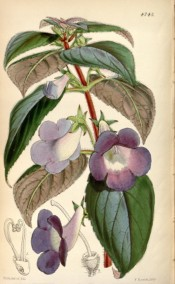 Figured are  ovate, toothed, hairy leaves and purple flowers with long tubes.  Curtis's Botanical Magazine t.4743, 1853.