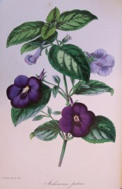 Shown is an Achimenes with hairy leaves and deep purple flowers. Paxtons Magazine of Botany p.197, 1846.