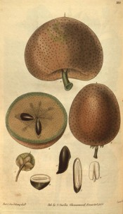 Figured are round, brownish speckled fruit and detail of seeds.  Curtis's Botanical Magazine t.3112, 1831.
