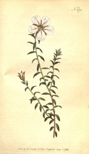 The image shows lance-shaped leaves and a solitary white  flower streaked with pink.  Curtis's Botanical Magazine t.273, 1794.