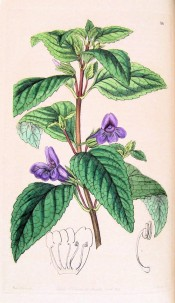 Figured are wrinkled ovate leaves and single, axillary fox-glove-like violet flowers.  Botanical Record f.16, 1846.