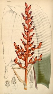 The image depicts a single, banded leaf and the coral-like flowers.  Curtis's Botanical Magazine t.4293, 1847.