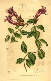Shown is a climber with ovate leaves and axillarytubular orange-red flowers.  Paxtons Magazine of Botany p.175, 1846.