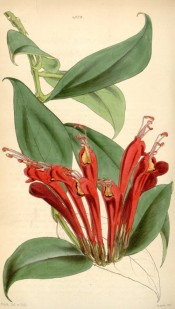 Figured are ovate leaves and clusters of dark red flowers, with orange lobes.  Curtis's Botanical Magazine t.4328, 1847.