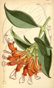 Depicted are leathery leaves and drooping bright orange flowers.  Curtis's Botanical Magazine t.4891, 1856.