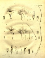 The uncoloured figure shows the parts of the flower in detail.  Transactions of the Linnean Society  tab.II, 1825.