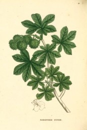 Illustrated are the palmate leaves and unripe seed capsules.  Saint-Hilaire Arb. pl.41, 1824.
