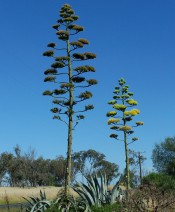 The photograph shows a clump of agaves with grey foliage with 2 flower spikes, one showing the bright yellow flowers.