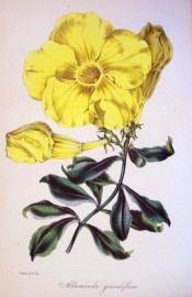 The image depicts a large golden yellow trumpet flower.  Paxton's Magazine of Botany p.79, 1845.