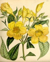 The image depicts bright yellow trumpet flowers with an indistinctly striped throat.  Curtis's Botanical Magazine t.4351, 1848.