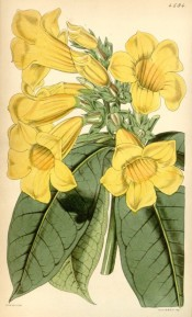 The image depicts yellow trumpet flowers and oleander-like leaves.  Curtis's Botanical Magazine t.4594, 1851.