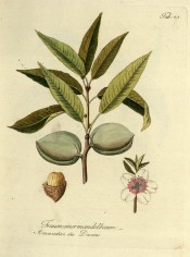 Figured is a fruiting shoot with leaves, flowers, green fruit and an opened almond. Pomona Austriaca t.45, 1792.