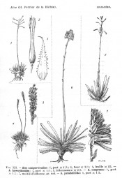 The figure shows 5 aloes, A. haworthii is the small plant at bottom left.  Flore de Madagascar p.91, 1938.