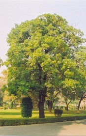 The image is of a mature Alstonia scholaris tree located at the Indian Institute of Technology, Kanpur Campur.  Wikipedia.