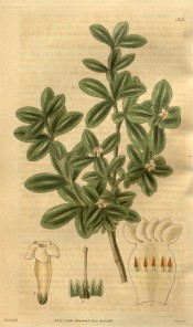The image depicts a shrub with small, shiny leaves and terminal small white flowers.  Curtis's Botanical Cabinet t.3313, 1834.
