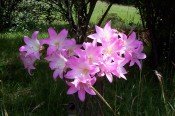 Amaryllis belladonna - bright pink, funnel-shaped flowers.