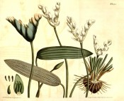Illustrated are the strap-like leaves, white flowers and seed pods.  Curtis's Botanical Magazine t.1293, 1810.