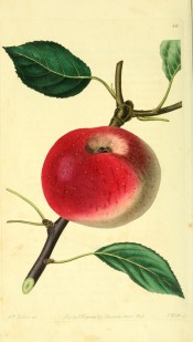 The apple figured has yellow skin, largely covered with bright red. Pomological Magazine t.66, 1829.
