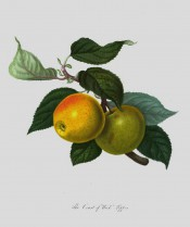 The apple figured is greenish-yellow suffused with orange and with red markings. Pomona Londinensis pl.32, 1818.