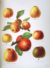 8 varieties of apple are figured all small, yellow or green, red-flushed or russety. Herefordshire Pomona pl.11, 1878.