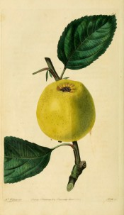 The apple figured has yellow skin lightly speckled with brown. Pomological Magazine t.113, 1830.