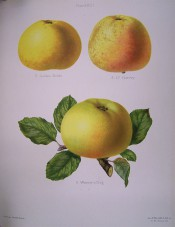 3 varieties of apple are figured here, all large to medium sized, yellow skin, flushed red. Herefordshire Pomona pl.23, 1878.
