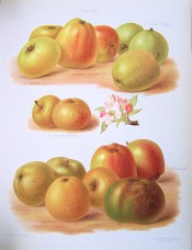 9 varieties of apple are figured here, variable, small to large, green or yellow, re-flushed. Herefordshire Pomona pl.54, 1878.