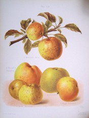 5 apples are illustrated, all yellow-skinned, flushed red with some russetting. Herfordshire Pomona pl.59, 1878.