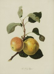 The apple figured has pale yellow-green skin flushed pink and with fine red streaking. Pomona Londinensis pl.20, 1818.