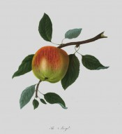 The apple figured has pale green skin flushed with orange and striped red. Pomona Londinensis pl.33, 1818.