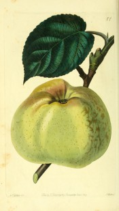 The apple figured is an irregular conical shape, greenish-yellow with brown russet markings. Pomological Magazine pl.77, 1829.