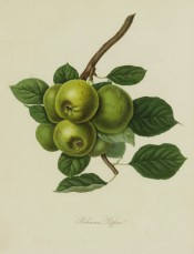 The apples figured are deep green in colour with some brownish-green marks. Pomona Londinensis pl.42, 1818.