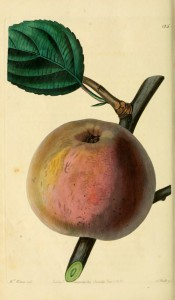 The apple figured has brownish-green skin, flushed red and with russet patches. Pomological Magazine t.125, 1830.