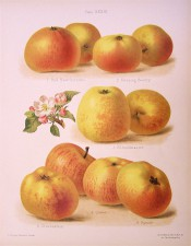 6 varieties of apple are depicted, all with yellow skins streaked with red. Herefordshire Pomona pl.39, 1878.