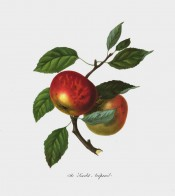 The apple figured has a green ground heavily suffused with scarlet . Pomona Londinensis pl.12, 1818.