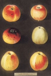 6 varieties of apple are depicted, round or conical in shape, yellow skinned flushed with red. Pomona Brittanica pl.45, 1878.