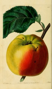 This round apple has yellow skin, bright red on one side. Pomological Magazine t.110, 1830